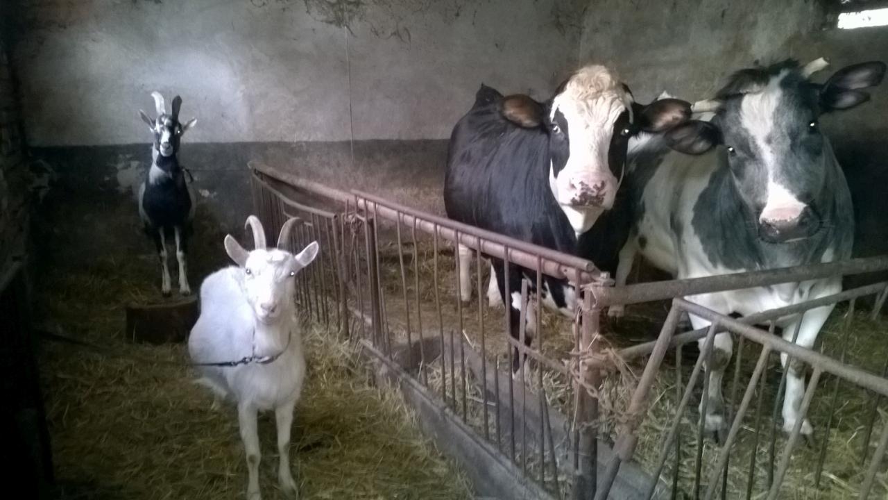 Krowy i cielęta. Fot. Zdzisław Tararako [Radio Szczecin]