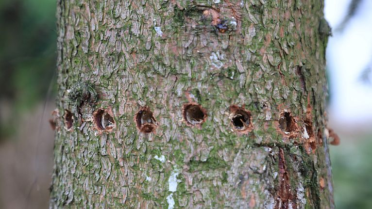 Zobacz, jak niszczą drzewa w Świnoujściu. Miasto zawiadamia policję