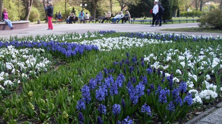 Kołobrzeg w kwiatach. Są hiacynty, tulipany oraz bratki [ZDJĘCIA]