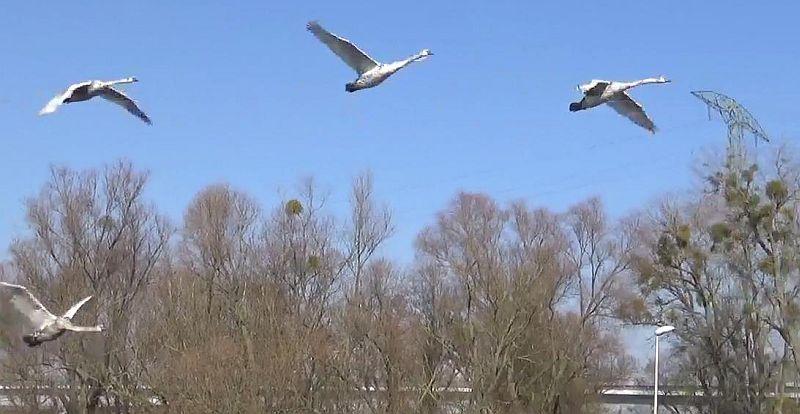 Dzikie ptaki wracają do Szczecina [WIDEO]