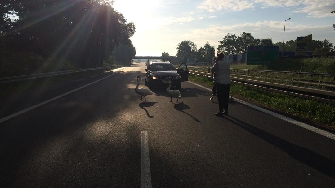 Łabędzie zatrzymały ruch na autostradzie [ZDJĘCIA]